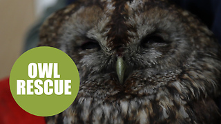 Bird-brained owl got covered in soot after falling down a couple's chimney - Video