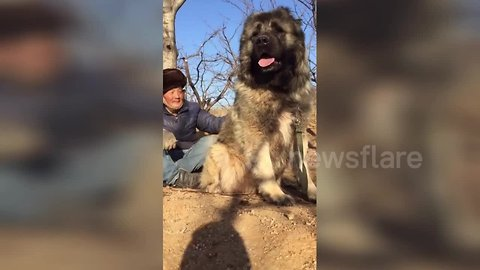 Just a man chilling with his giant Caucasian Shepherd Dog in China's Hebei