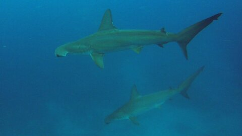 These scuba divers find themselves surrounded by hammerhead sharks