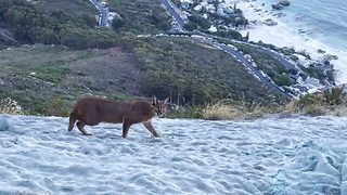 Rare Sighting Of Caracal Cat Caught On Camera  - Video