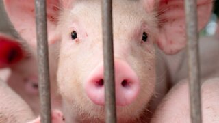Chinese researchers eye H1N1 pig virus that could start another pandemic
