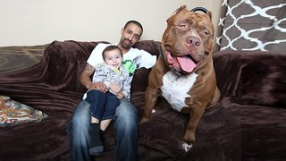 Meet The Giant 175lb Family Pit Bull - Video