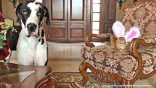 Great Dane Doesn't Recognize Easter Bunny Rabbit Cat