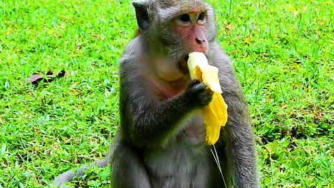 Monkey Like To Eat Banana