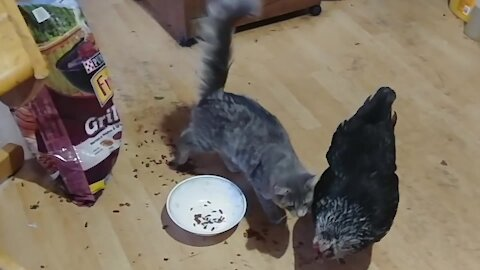 Friendly kitty desperately tries to befriend chicken