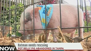 Pig up for adoption at Humane Society of Tampa finds new home