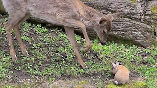 Fawn listens to human's advice to be gentle to bunny rabbit