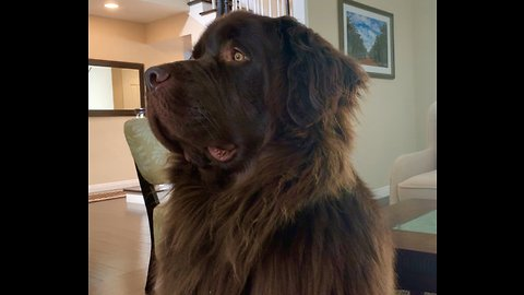 Newfoundland randomly bursts into epic howl