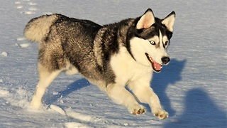 Cute Siberian Husky Self Entertaining in the Snow  - Video