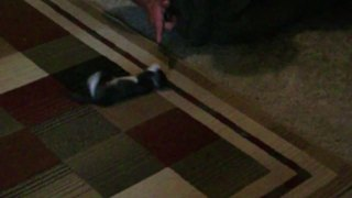 Funny Cat Plays Dead When Her Owner