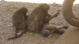 Rescued baby baboon grooming time! - Video