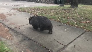 Wombat Spotted Strolling Along Canberra Footpath - Video