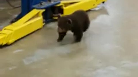 Baby Bear Takes A Casual Stroll Into A Mechanic Shop – The Reaction Of The Employee Is Beyond Hilarious