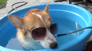 Corgi has mixed feelings about first time pool experience