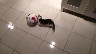 A cat making great movements with the ball