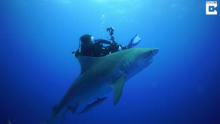 Diver Comes Face To Face With Tiger Shark - Video