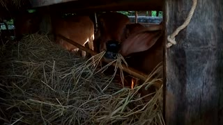Hungry Cow Eats Field Raw materials ' Hay '