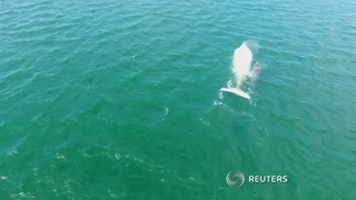 Rare white whale spotted off Mexico's Pacific coast