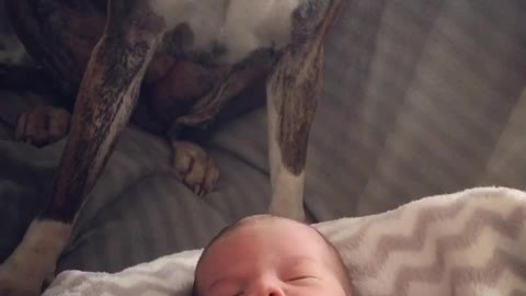 Adorable Boxer Named Astrid Gives Lots Of Love To Her Baby Brother