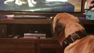 Pooch watches video himself as a puppy, howls in excitement