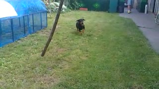 Puppy always enjoys returning thrown balls in the backyard - Video
