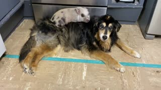 Rescued piglet sleeps on senior dog's back every single night