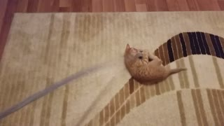 Funny Kitten Loves Leashes - Video