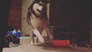 Alaskan Malamute overly excited in basement