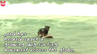 Dogs Go Surfing - Video
