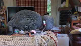 Pet Guinea Fowl helps with house work - Video