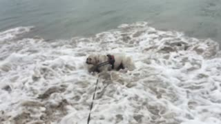 English Bulldog fearlessly attacks ocean waves