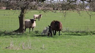 See beautiful sheep on a morning walk in a country farm