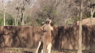 kangaroo fight kangaroo vs kangaroo boxing Short Video compilation - Video