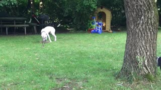 Dogs with big broom - Video