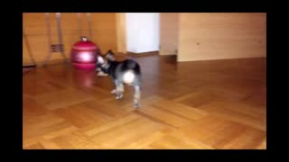 chihuahua dog puppy first steps and play