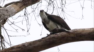 Osprey Eating A Fish - Video