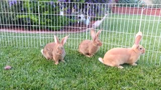 Cat Enjoys Quality Time With Five Adorable Bunnies - Video