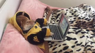 Dog spends rainy day watching cartoons on laptop - Video
