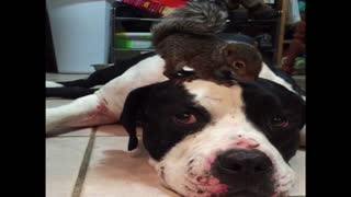 Squirrel's Unlikely Dog Friend Protects Him From A Cat - Video