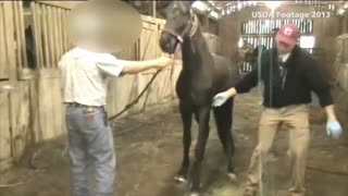 Tennessee Walking Horse Trainer Exposed For Horse Cuelty - Video