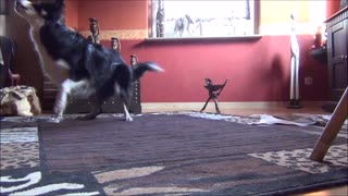 "Border Collie "" twist"" very fast :-D - Video"
