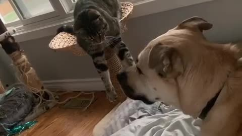 Cat takes gentle approach when bothering dog friend