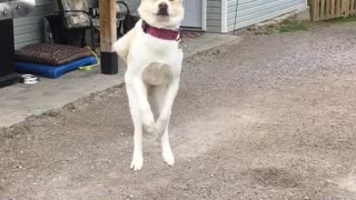 Dog Literally Jumps For Joy When Owner Comes Home - Video