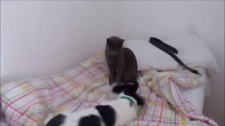 Cat and puppy playing on bed