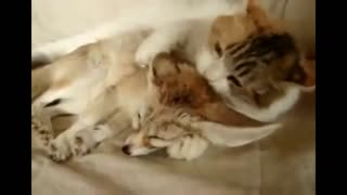 Cat and Fox - Video
