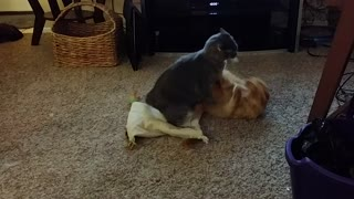 Kitties Hopped Up On Catnip Playfight  - Video