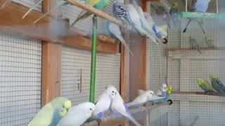 A group of Budgie brids