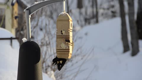 Pileated Woodpecker at winter feeder. Majestic and beautiful.