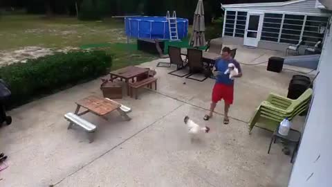 Rooster Attacks Man Carrying Dog