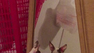Dog hangs out with reflection in mirror - Video